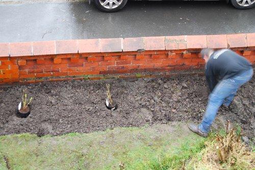 Planting Blackcurrants