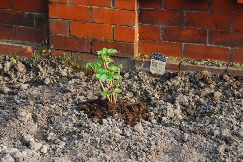 Freshly Planted Black currants