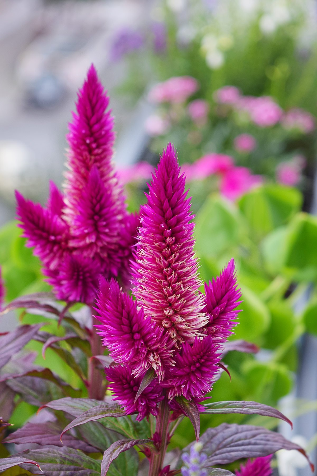 Celosia argentea | Little House On The Corner