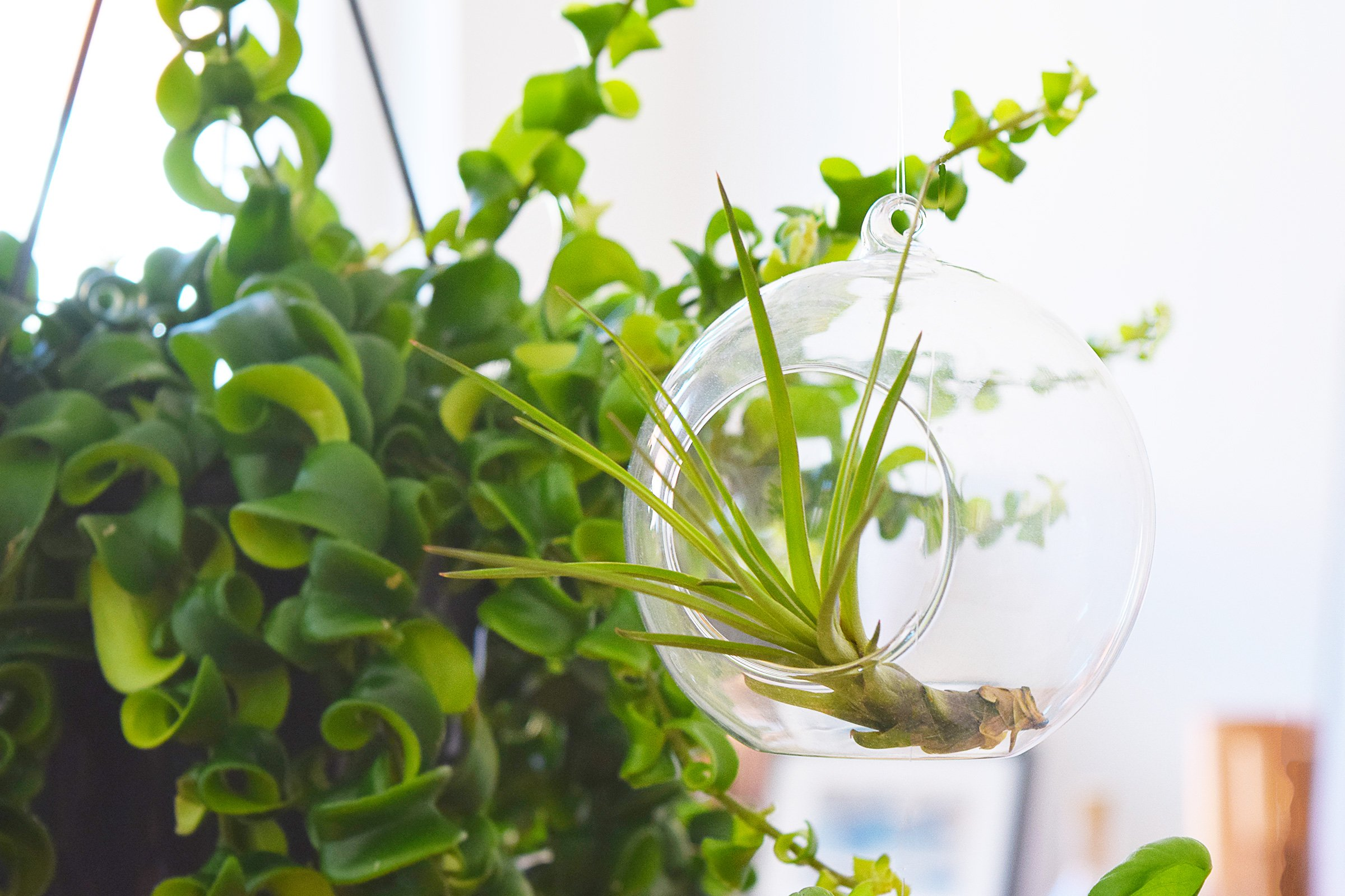 DIY Hanging Garden - Airplant - Little House On The Corner